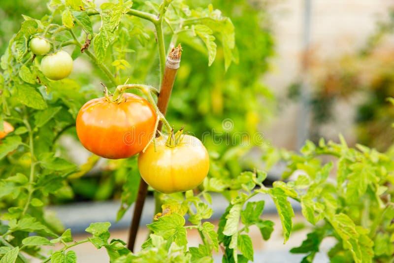 La tomate chantera sur une branche images libres de droits