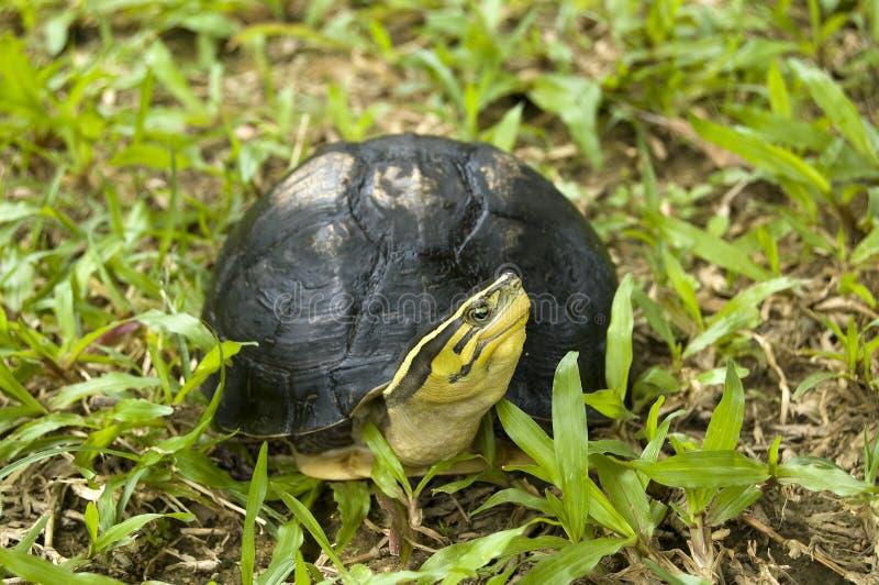 La tortue à l'extérieur de l'interpréteur de commandes interactif photographie stock libre de droits
