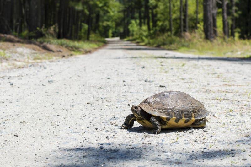 La tortue dans la route photo stock