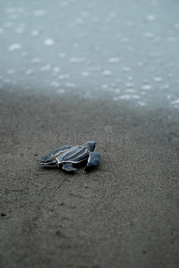 La tortue de bébé prenant des premières étapes aux eaux affilent photographie stock libre de droits