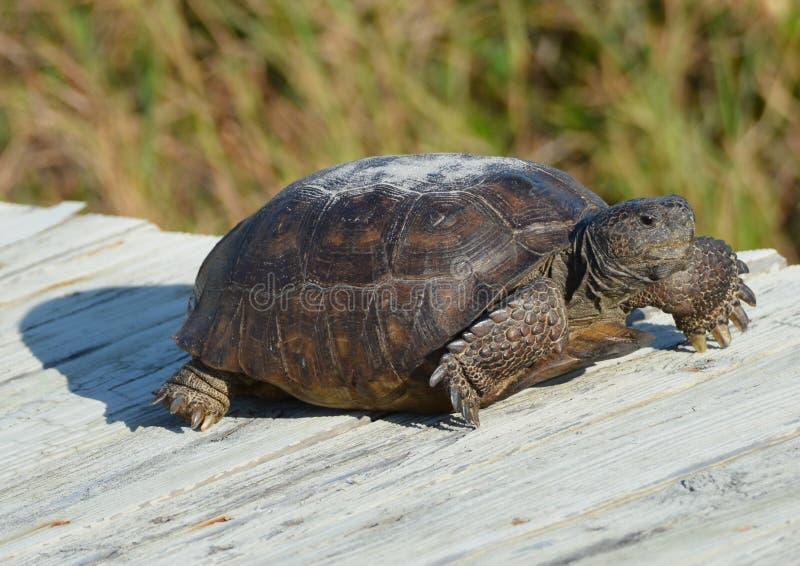 La tortue de Gopher prend un bref repos sur son voyage le long de la promenade de plage photo libre de droits