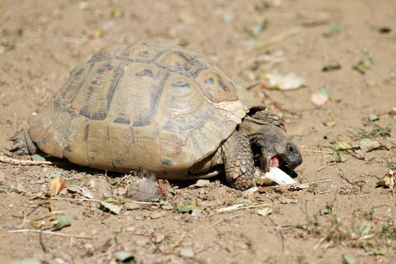 La tortue de Hermann image libre de droits