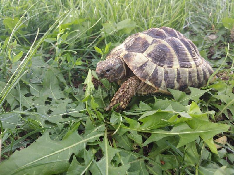 La tortue de Hermann photos libres de droits