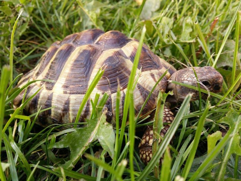 La tortue de Hermann image stock