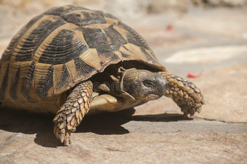 La tortue de Hermann photo stock