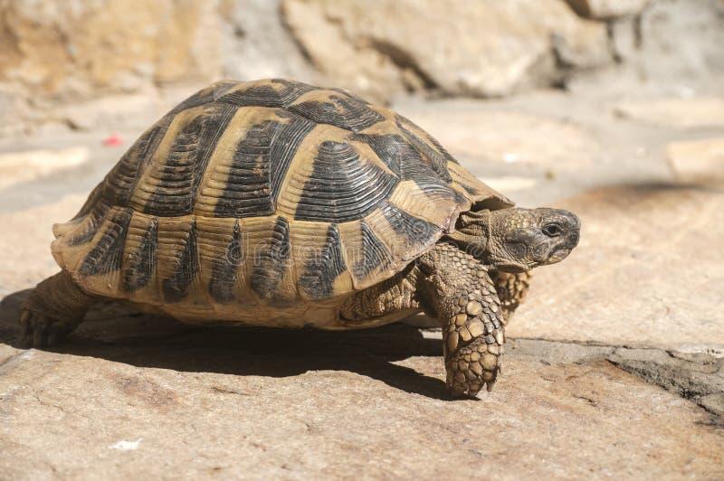 La tortue de Hermann photographie stock
