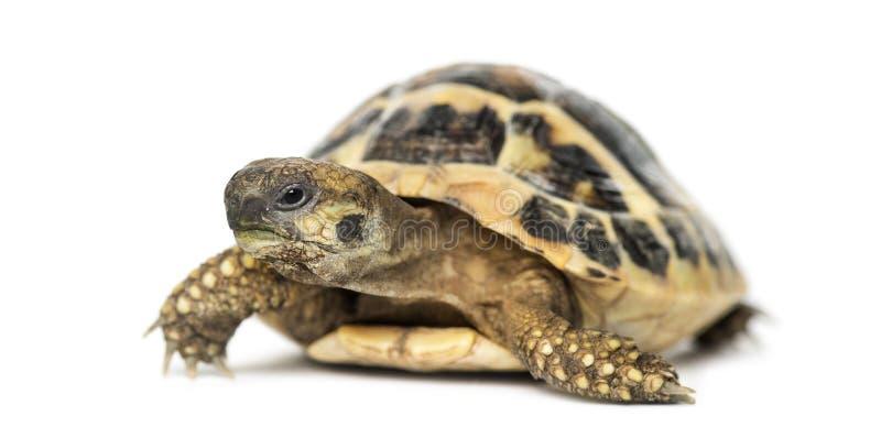 La tortue de Hermann, d'isolement photographie stock