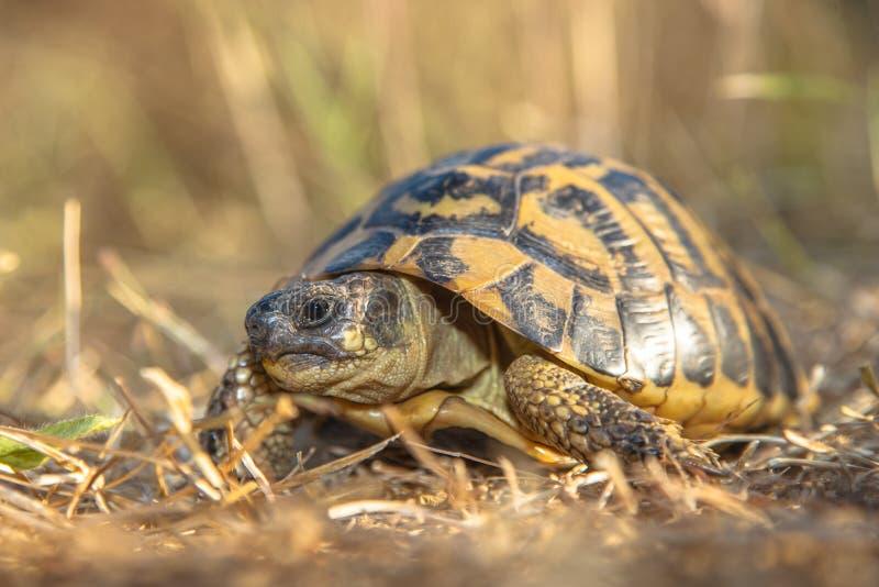 La tortue de Hermann (hermanni de Testudo) dans l'environnement herbeux Ital image stock