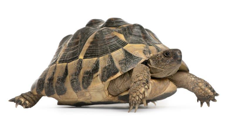 La tortue de Hermann, hermanni de Testudo, marchant photos libres de droits