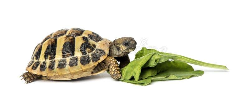 La tortue de Hermann mangeant de la salade, d'isolement photo stock