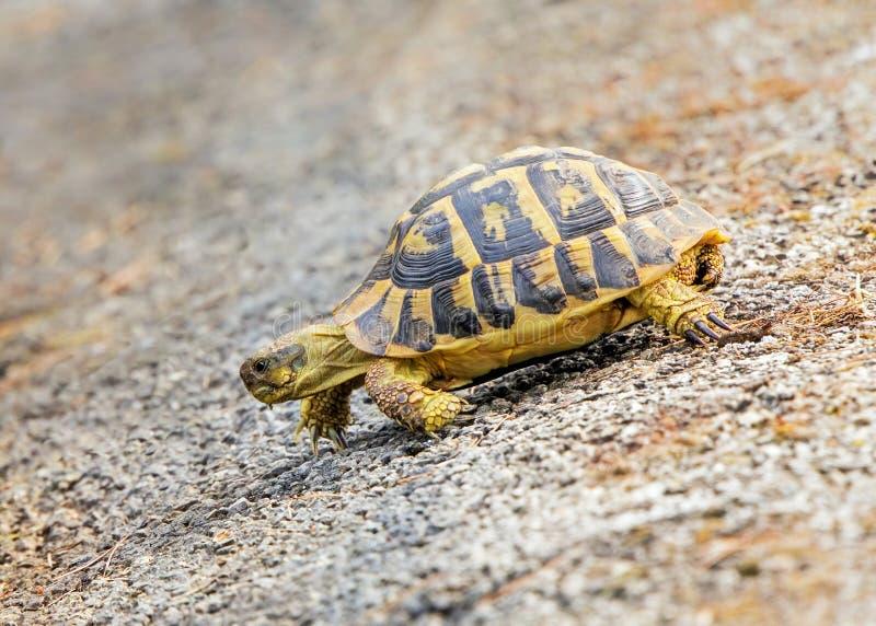 La tortue de Hermann occidental - hermann de hermanni de Testudo, Majorque, Espagne photos libres de droits