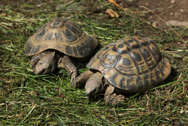 La tortue de Hermann oriental (boettgeri de hermanni de Testudo) photographie stock