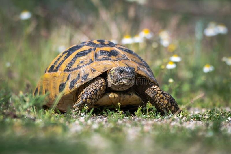 La tortue de Hermann oriental Boettgeri de hermanni de Testudo photographie stock libre de droits
