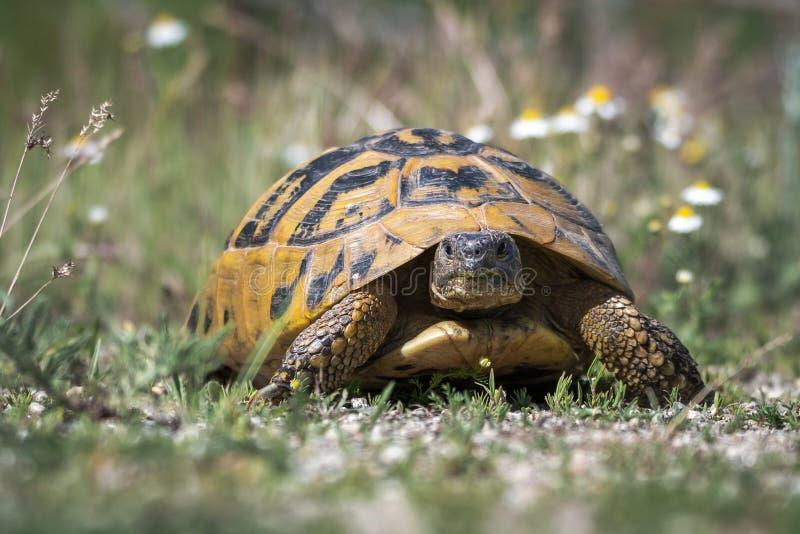 La tortue de Hermann oriental Boettgeri de hermanni de Testudo images libres de droits