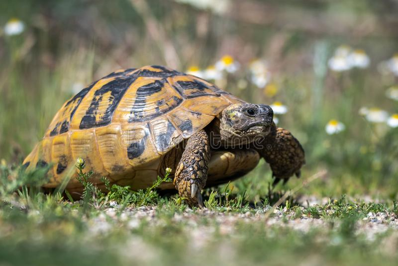 La tortue de Hermann oriental Boettgeri de hermanni de Testudo photographie stock