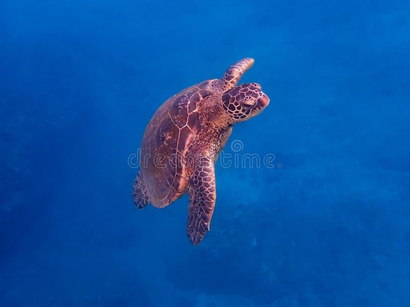 La tortue de mer verte nage vers la surface dans l'eau bleue photographie stock