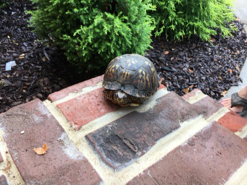 La tortue de visite photo stock