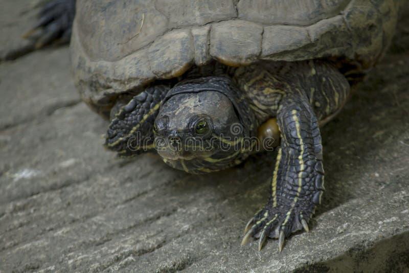 La tortue est sur un plancher de ciment image libre de droits