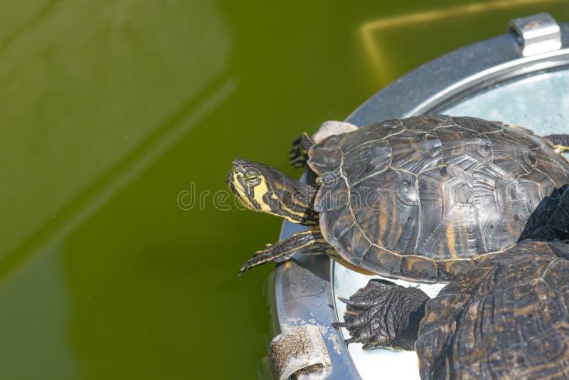 La tortue jaune-gonflée de glisseur dans un habitat vert de l'eau photo libre de droits
