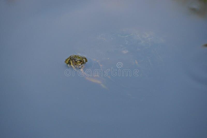La tortue pousse la tête hors de l'eau pour un souffle images libres de droits