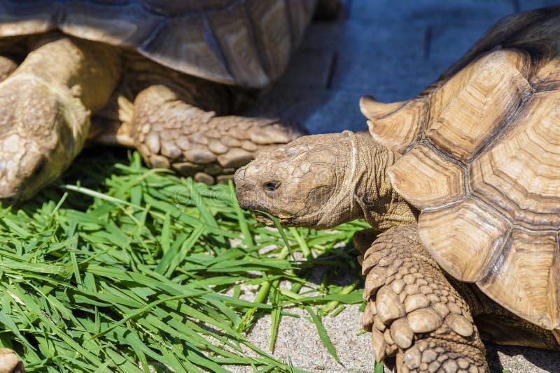 La tortue rayonnée mangeant le raisin part dans le jardin, le portrait de la tortue rayonnée, la tortue rayonnée de au sud de images libres de droits