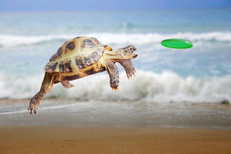 La tortue saute et attrape le frisbee images stock