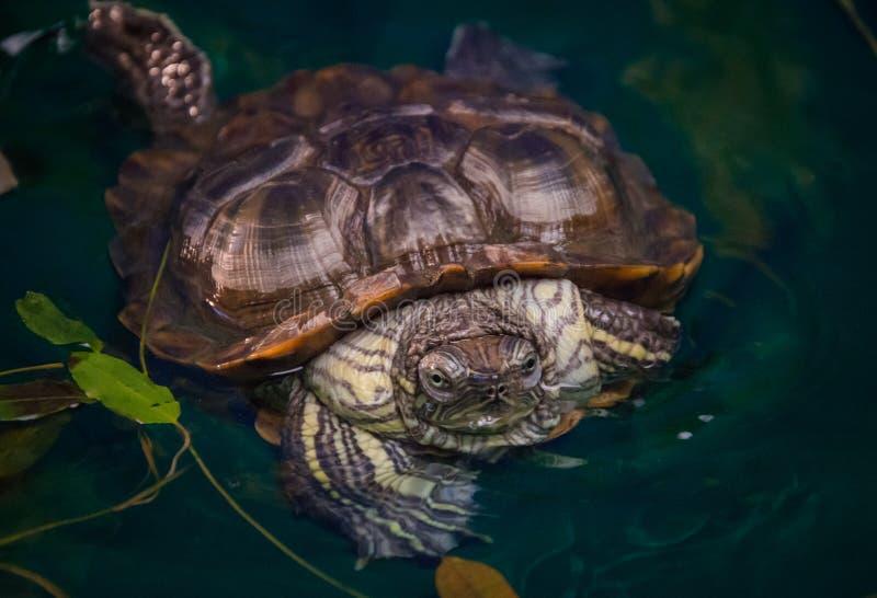 La tortue se repose dans l'eau à la maison images stock