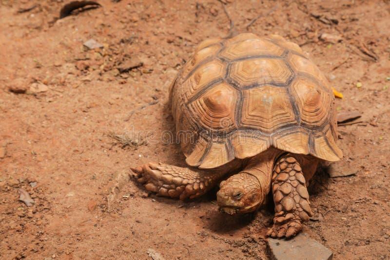La tortue stimulée africaine de sulcata de tortue habite le bord du sud du désert du Sahara, en Afrique Comme animal familier, il photographie stock