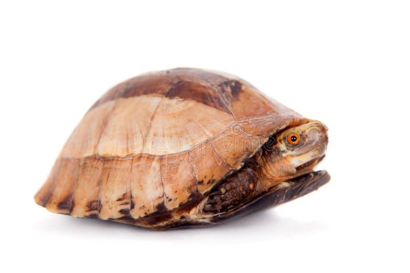 La tortuga de caja indochina en blanco foto de archivo