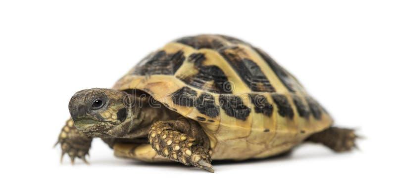 La tortuga de Hermann, aislada imagen de archivo libre de regalías