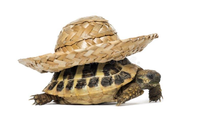 La tortuga de Hermann, aislada fotos de archivo libres de regalías