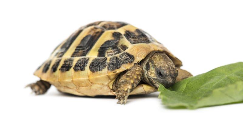 La tortuga de Hermann que come la ensalada, aislada imagen de archivo