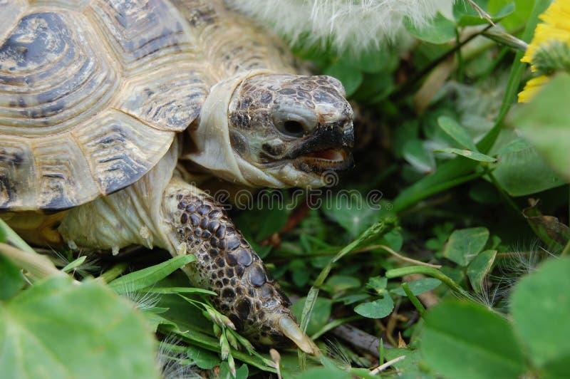 La tortuga de la pista fotos de archivo libres de regalías