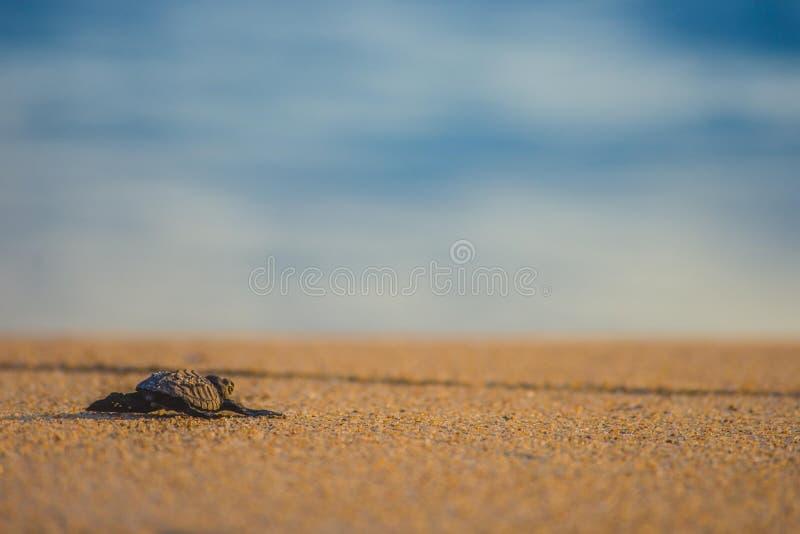 La tortuga de mar del bebé encuentra su manera de nuevo al océano imagen de archivo libre de regalías