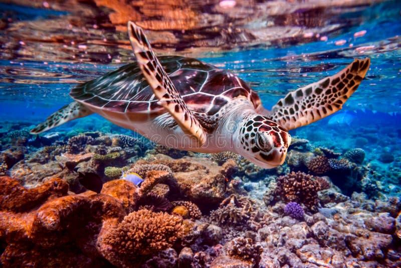 La tortuga de mar nada debajo del agua en el fondo de arrecifes de coral imagen de archivo libre de regalías