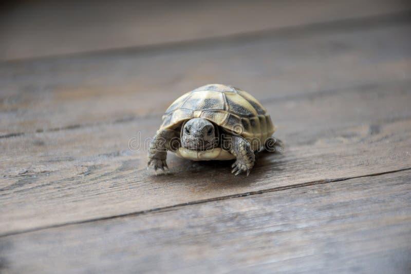 La tortuga de la tierra del bebé que mira adentro a la cámara en fondo de madera, se cierra encima de fotografía Peque?a tortuga foto de archivo libre de regalías