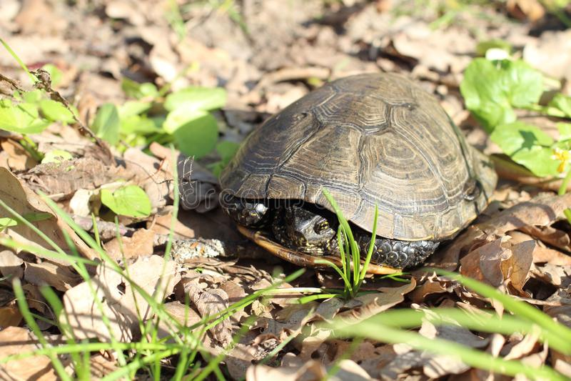 La tortuga europea de la charca, u orbicularis de Emys fotos de archivo