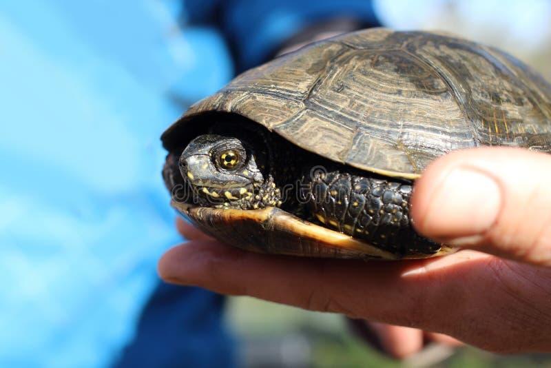 La tortuga europea de la charca, u orbicularis de Emys imagen de archivo libre de regalías