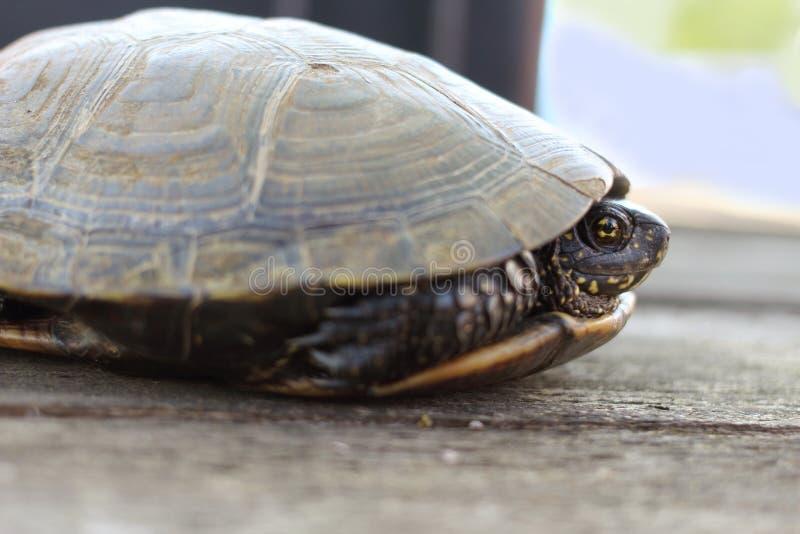 La tortuga europea de la charca, u orbicularis de Emys fotos de archivo libres de regalías