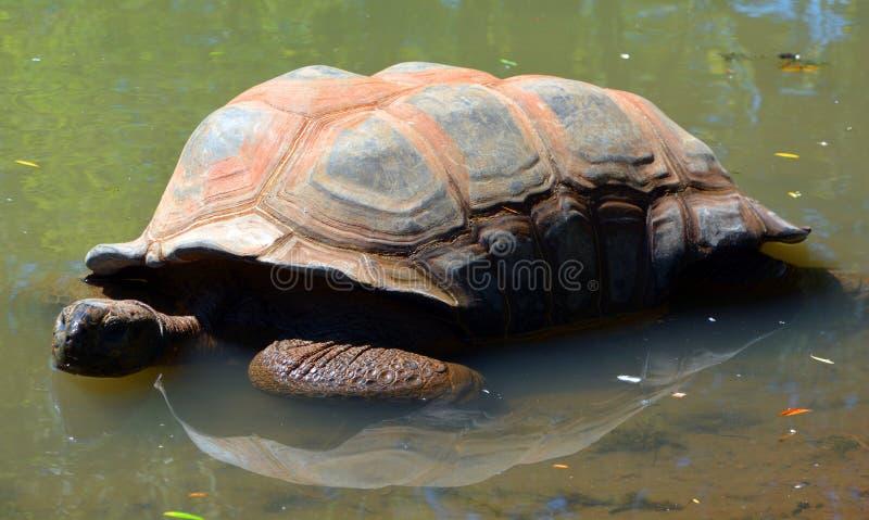 La tortuga gigante de Aldabra imágenes de archivo libres de regalías