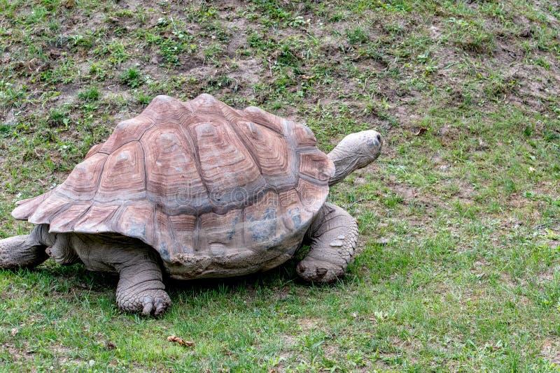 La tortuga gigante vieja camina alrededor de su recinto en el parque zoológico imagen de archivo libre de regalías