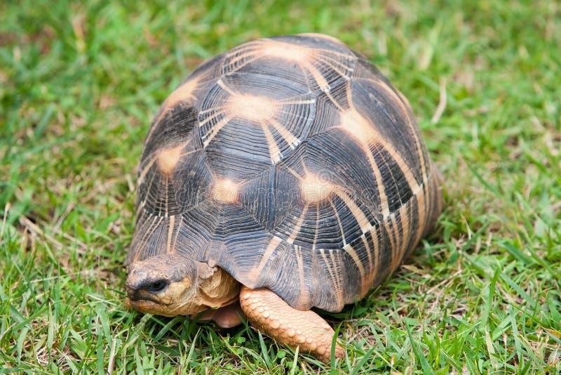 La tortuga irradiada imagenes de archivo