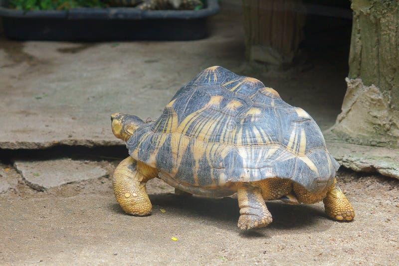La tortuga irradiada est? caminando en el ?rea del parque zool?gico foto de archivo libre de regalías