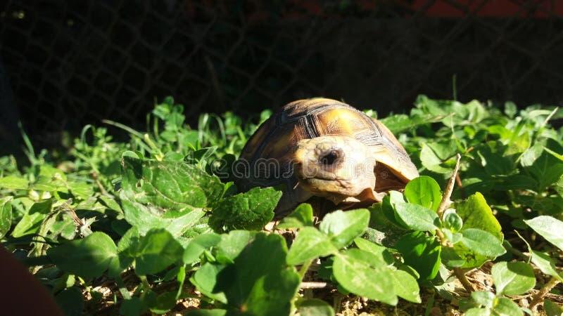 La tortuga solitaria imagen de archivo libre de regalías
