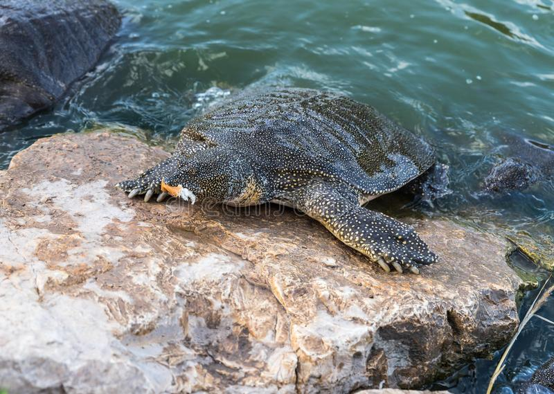 La tortuga suave-pelada el Nilo - triunguis del Trionyx - las subidas sobre la playa de piedra y come en Alexander River cerca de fotos de archivo