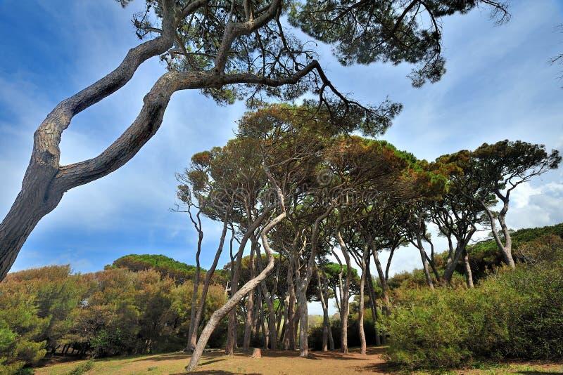 La Toscane, Italie, pins dans le golfe de Baratti images libres de droits