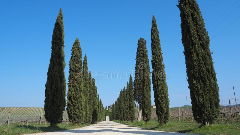La Toscane, paysage d'une avenue de cyprès près des vignobles photographie stock