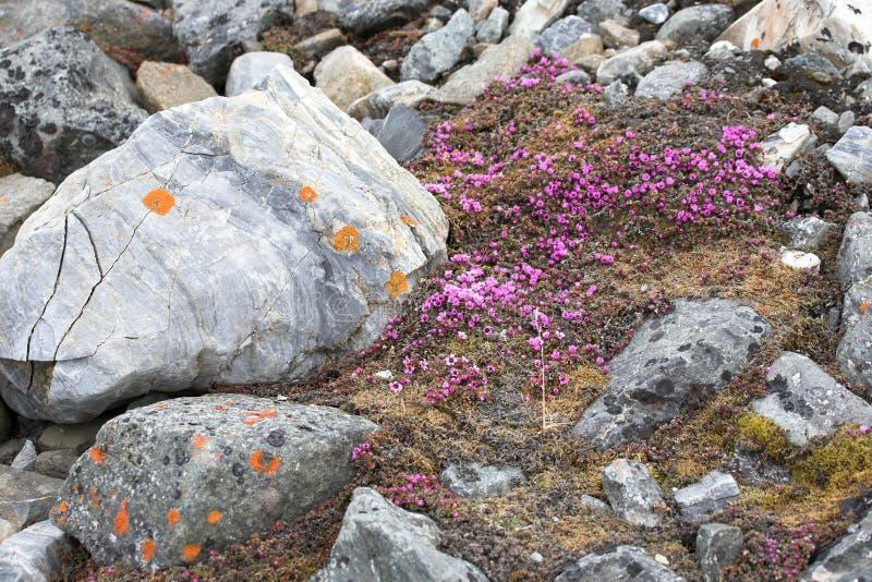 La toundra fleurit (l'oppositifolia de Saxifraga) photo stock