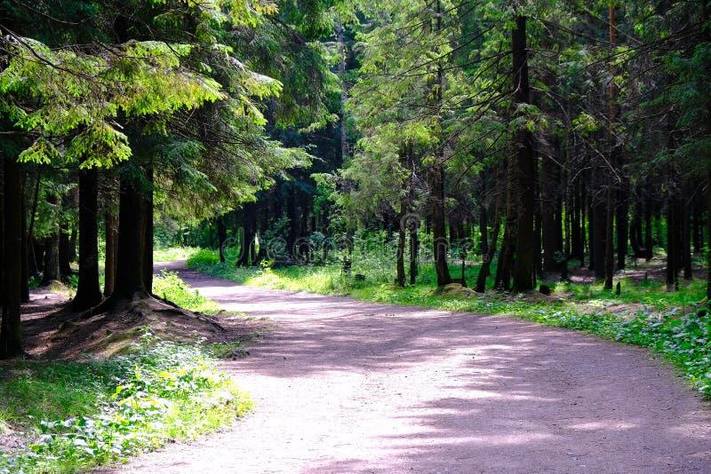 La traînée de forêt dans une forêt de pin par les branches font leurs rayons d'été de manière du soleil photographie stock