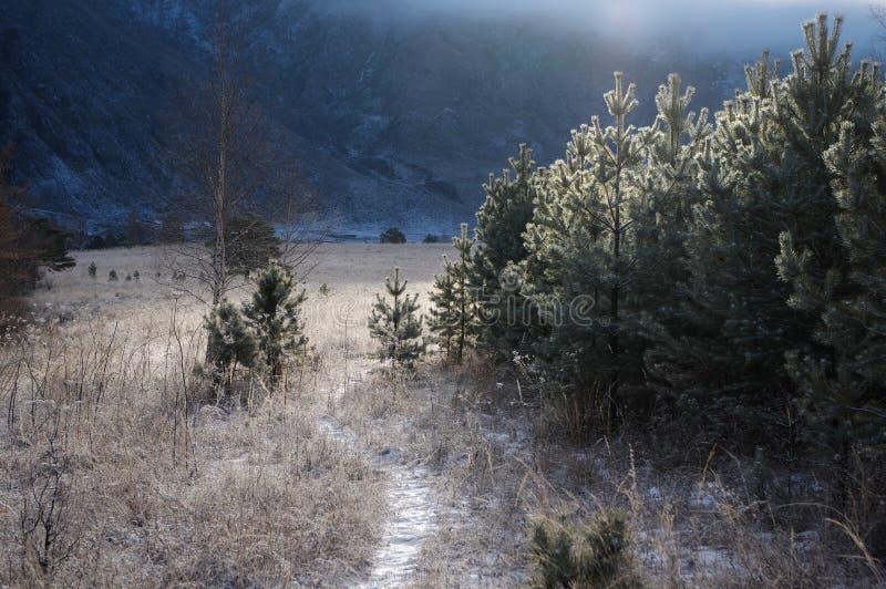 La traccia attraverso un campo di erba glassata contro un fondo dei pini di mattina luce e delle circostanze retroilluminate, Alt fotografia stock libera da diritti